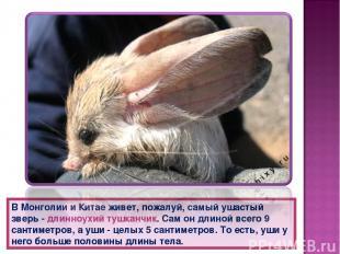 В Монголии и Китае живет, пожалуй, самый ушастый зверь - длинноухий тушканчик. С