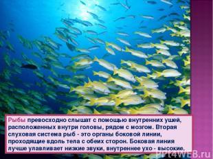 Рыбы превосходно слышат с помощью внутренних ушей, расположенных внутри головы,