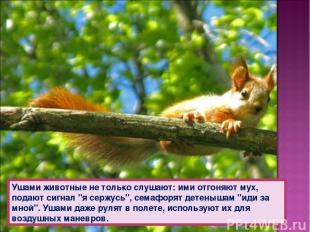 """Ушами животные не только слушают: ими отгоняют мух, подают сигнал """"я сержусь"""", с"""