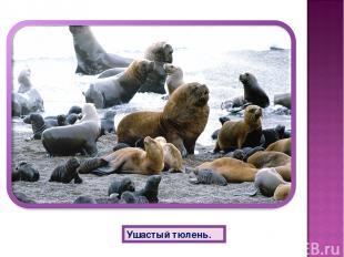 Ушастый тюлень.