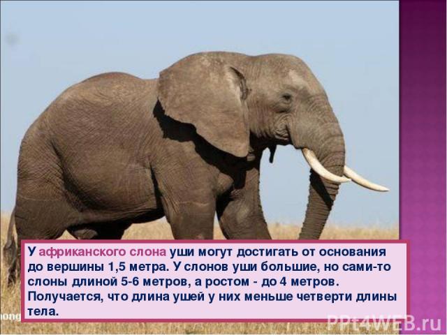 У африканского слона уши могут достигать от основания до вершины 1,5 метра. У слонов уши большие, но сами-то слоны длиной 5-6 метров, а ростом - до 4 метров. Получается, что длина ушей у них меньше четверти длины тела.