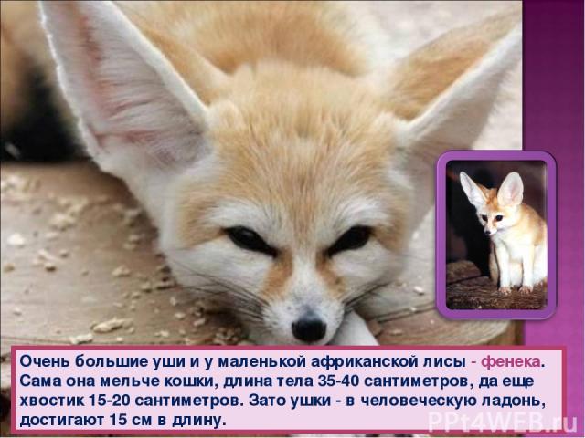 Очень большие уши и у маленькой африканской лисы - фенека. Сама она мельче кошки, длина тела 35-40 сантиметров, да еще хвостик 15-20 сантиметров. Зато ушки - в человеческую ладонь, достигают 15 см в длину.