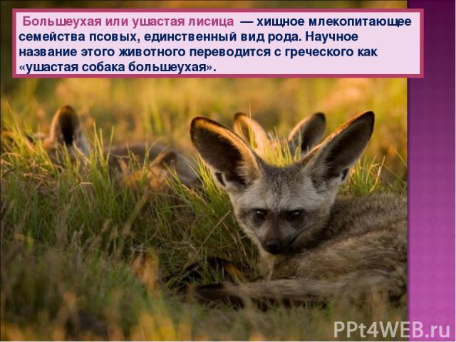 Большеухая или ушастая лисица — хищное млекопитающее семейства псовых, единственный вид рода. Научное название этого животного переводится с греческого как «ушастая собака большеухая».