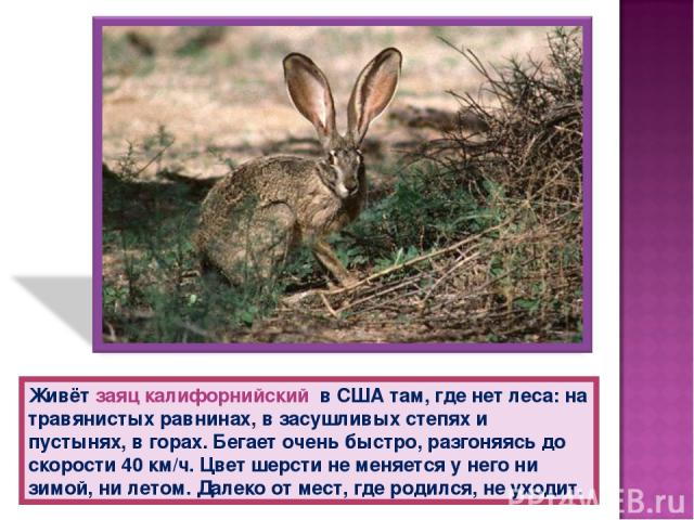 Живёт заяц калифорнийский в США там, где нет леса: на травянистых равнинах, в засушливых степях и пустынях, в горах. Бегает очень быстро, разгоняясь до скорости 40 км/ч. Цвет шерсти не меняется у него ни зимой, ни летом. Далеко от мест, где родился,…