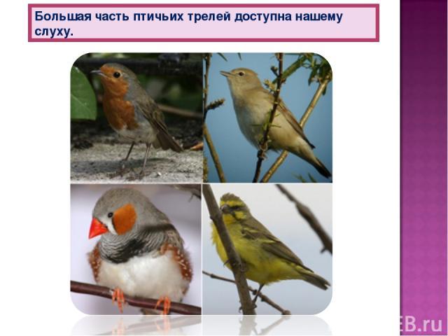 Большая часть птичьих трелей доступна нашему слуху.