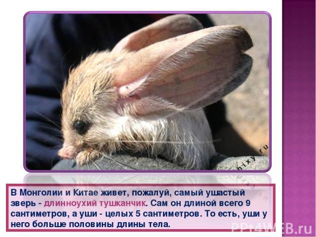 В Монголии и Китае живет, пожалуй, самый ушастый зверь - длинноухий тушканчик. Сам он длиной всего 9 сантиметров, а уши - целых 5 сантиметров. То есть, уши у него больше половины длины тела.