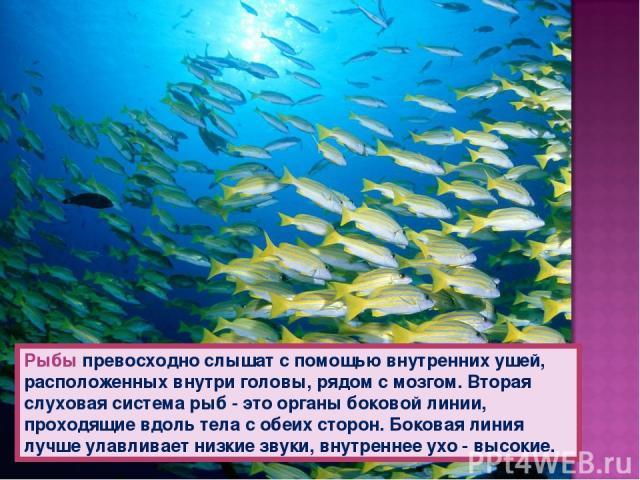 Рыбы превосходно слышат с помощью внутренних ушей, расположенных внутри головы, рядом с мозгом. Вторая слуховая система рыб - это органы боковой линии, проходящие вдоль тела с обеих сторон. Боковая линия лучше улавливает низкие звуки, внутреннее ухо…