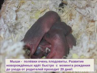 Мыши - полёвки очень плодовиты. Развитие новорождённых идёт быстро с момента рож