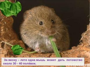 За весну – лето одна мышь может дать потомство около 30 - 40 полёвок.