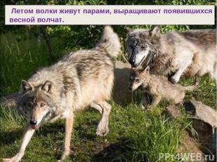 Летом волки живут парами, выращивают появившихся весной волчат.