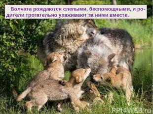 Волчата рождаются слепыми, беспомощными, и ро- дители трогательно ухаживают за н