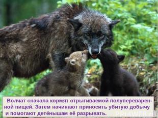 Волчат сначала кормят отрыгиваемой полупереварен- ной пищей. Затем начинают прин