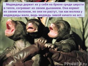 Медведица держит их у себя на брюхе среди шерсти в тепле, согревает их своим дых