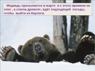 Медведь просыпается в марте и с этого времени не спит , а слегка дремлет, ждёт п