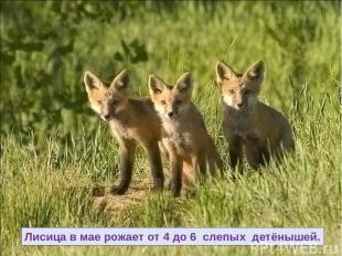Лисица в мае рожает от 4 до 6 слепых детёнышей.
