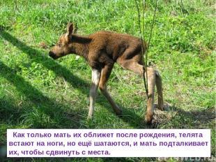 Как только мать их оближет после рождения, телята встают на ноги, но ещё шатаютс