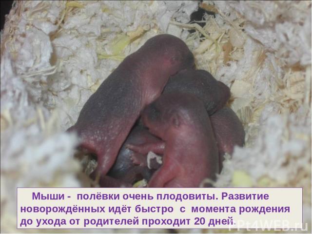 Мыши - полёвки очень плодовиты. Развитие новорождённых идёт быстро с момента рождения до ухода от родителей проходит 20 дней.