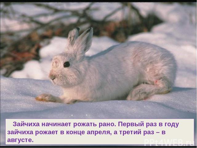 Зайчиха начинает рожать рано. Первый раз в году зайчиха рожает в конце апреля, а третий раз – в августе.