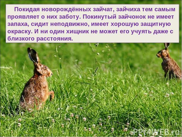 Покидая новорождённых зайчат, зайчиха тем самым проявляет о них заботу. Покинутый зайчонок не имеет запаха, сидит неподвижно, имеет хорошую защитную окраску. И ни один хищник не может его учуять даже с близкого расстояния.