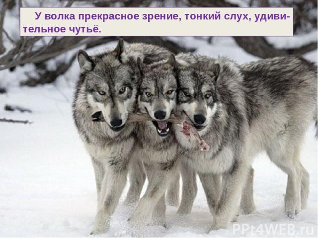 У волка прекрасное зрение, тонкий слух, удиви- тельное чутьё.