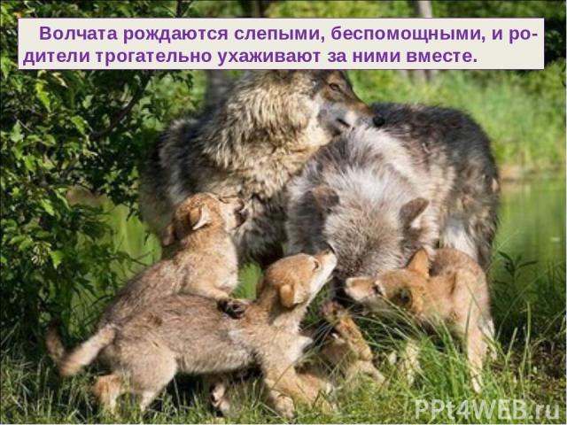 Волчата рождаются слепыми, беспомощными, и ро- дители трогательно ухаживают за ними вместе.