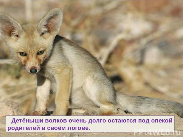 Детёныши волков очень долго остаются под опекой родителей в своём логове.