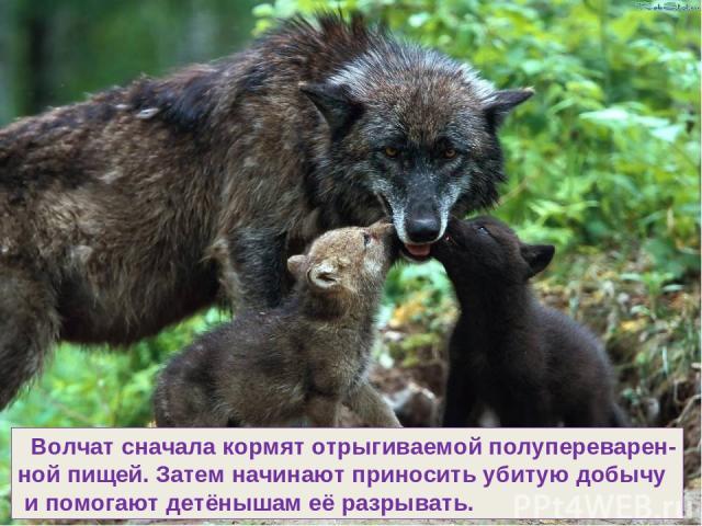 Волчат сначала кормят отрыгиваемой полупереварен- ной пищей. Затем начинают приносить убитую добычу и помогают детёнышам её разрывать.