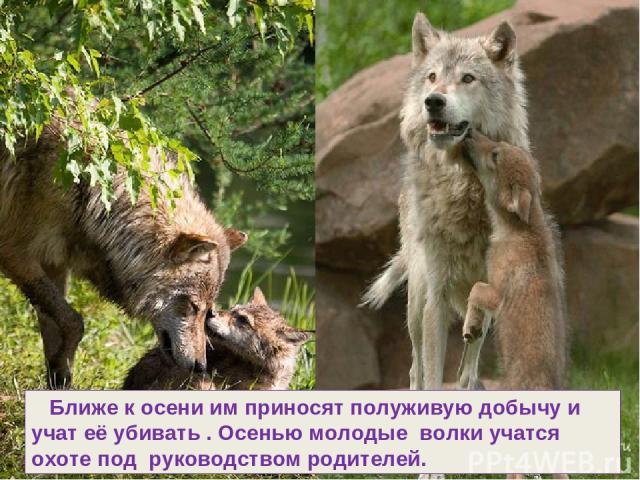 Ближе к осени им приносят полуживую добычу и учат её убивать . Осенью молодые волки учатся охоте под руководством родителей.