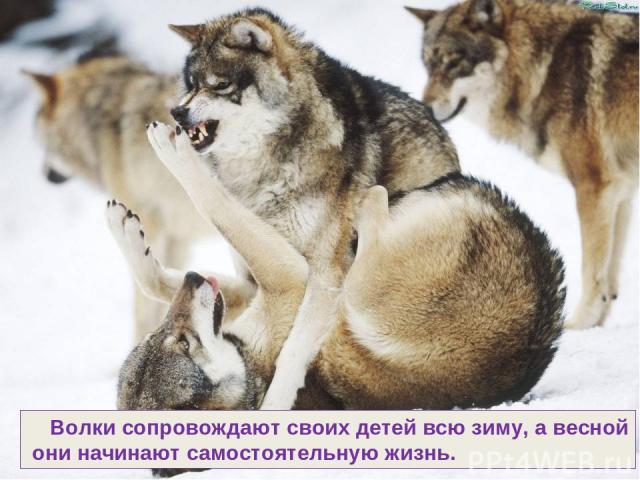 Волки сопровождают своих детей всю зиму, а весной они начинают самостоятельную жизнь.
