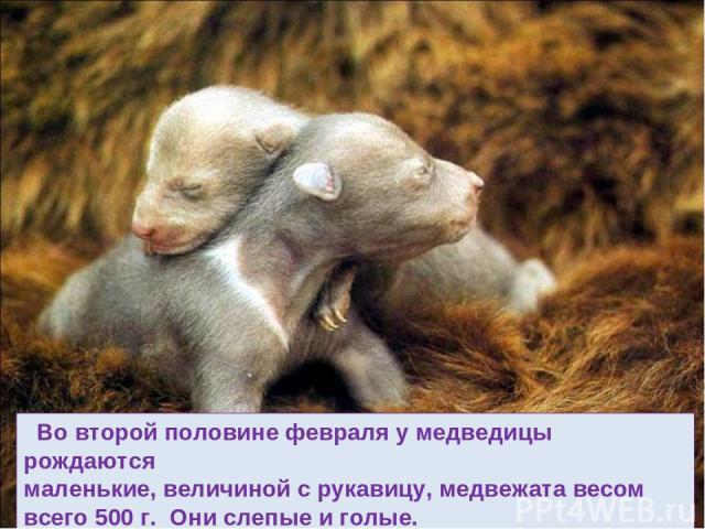 Во второй половине февраля у медведицы рождаются маленькие, величиной с рукавицу, медвежата весом всего 500 г. Они слепые и голые.