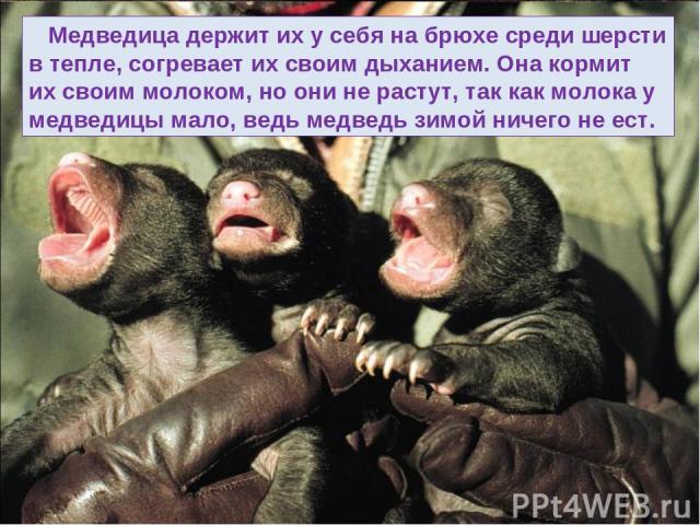 Медведица держит их у себя на брюхе среди шерсти в тепле, согревает их своим дыханием. Она кормит их своим молоком, но они не растут, так как молока у медведицы мало, ведь медведь зимой ничего не ест.