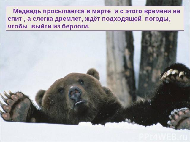 Медведь просыпается в марте и с этого времени не спит , а слегка дремлет, ждёт подходящей погоды, чтобы выйти из берлоги.