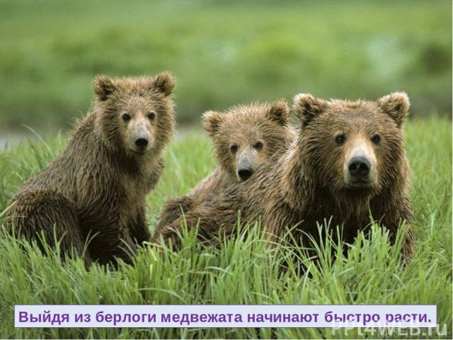 Выйдя из берлоги медвежата начинают быстро расти.