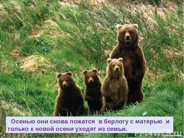 Осенью они снова ложатся в берлогу с матерью и только к новой осени уходят из семьи.