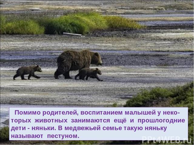 Помимо родителей, воспитанием малышей у неко- торых животных занимаются ещё и прошлогодние дети - няньки. В медвежьей семье такую няньку называют пестуном.