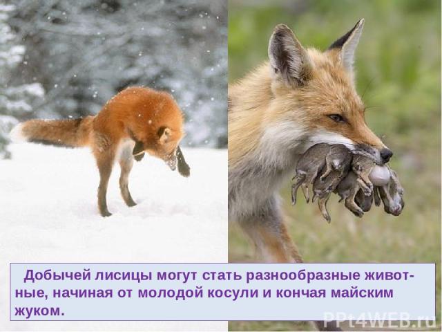 Добычей лисицы могут стать разнообразные живот-ные, начиная от молодой косули и кончая майским жуком.