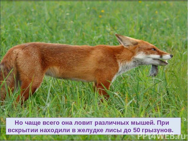 Но чаще всего она ловит различных мышей. При вскрытии находили в желудке лисы до 50 грызунов.