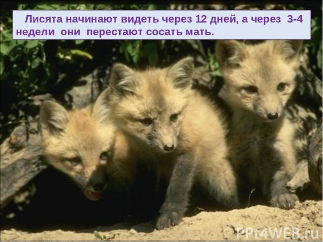 Лисята начинают видеть через 12 дней, а через 3-4 недели они перестают сосать мать.