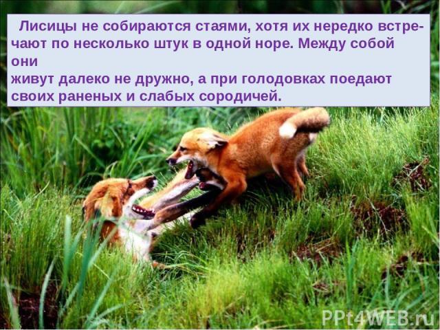Лисицы не собираются стаями, хотя их нередко встре- чают по несколько штук в одной норе. Между собой они живут далеко не дружно, а при голодовках поедают своих раненых и слабых сородичей.