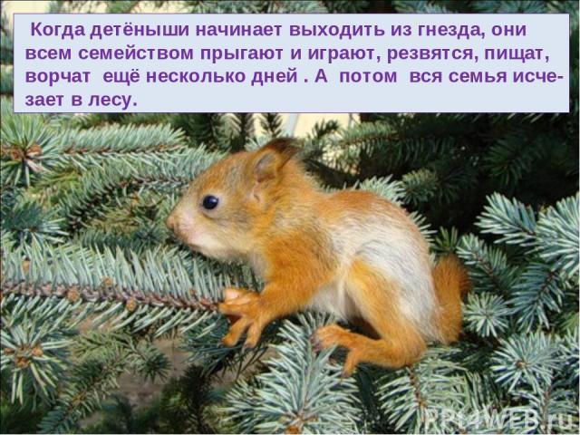 Когда детёныши начинает выходить из гнезда, они всем семейством прыгают и играют, резвятся, пищат, ворчат ещё несколько дней . А потом вся семья исче- зает в лесу.