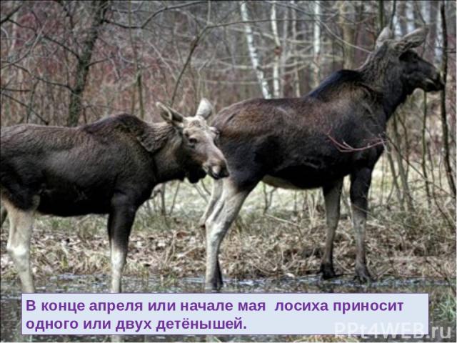 В конце апреля или начале мая лосиха приносит одного или двух детёнышей.