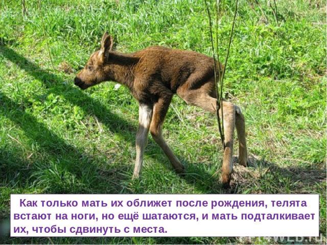 Как только мать их оближет после рождения, телята встают на ноги, но ещё шатаются, и мать подталкивает их, чтобы сдвинуть с места.