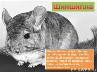 Шиншилла — грызун с мягкой, густой и прочной шерстью. Это небольшой зверек с пов