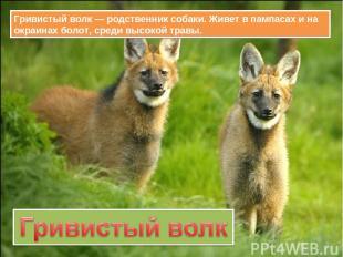 Гривистый волк — родственник собаки. Живет в пампасах и на окраинах болот, среди
