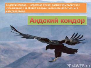 Андский кондор — огромная птица: размах крыльев у нее чуть меньше 3 м. Живет в г