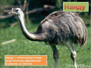 Нанду — нелетающая птица, родственница африканских страусов, но мельче.