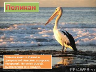 Пеликан живет в Южной и Центральной Америке, у морских побережий. Питается рыбой