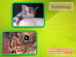Вампир — маленькая летучая мышь.