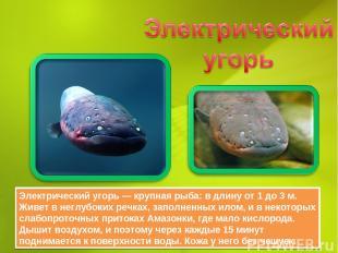 Электрический угорь — крупная рыба: в длину от 1 до 3 м. Живет в неглубоких речк