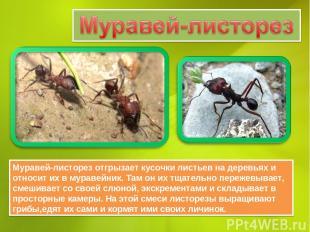 Муравей-листорез отгрызает кусочки листьев на деревьях и относит их в муравейник